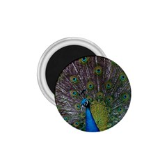 Peacock Feather Beat Rad Blue 1 75  Magnets