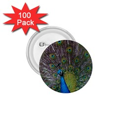 Peacock Feather Beat Rad Blue 1 75  Buttons (100 Pack)