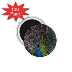Peacock Feather Beat Rad Blue 1 75  Magnets (100 Pack)