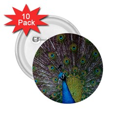 Peacock Feather Beat Rad Blue 2 25  Buttons (10 Pack)