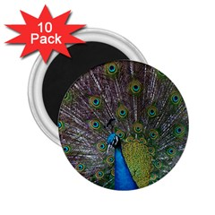Peacock Feather Beat Rad Blue 2 25  Magnets (10 Pack)