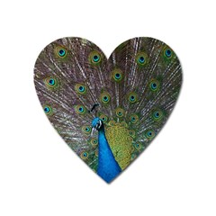 Peacock Feather Beat Rad Blue Heart Magnet