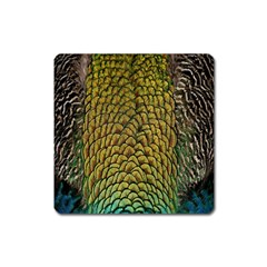 Peacock Bird Feather Gold Blue Brown Square Magnet