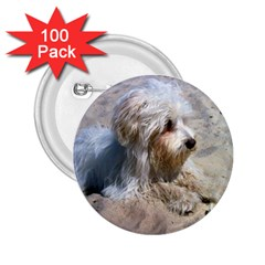 Maltese On Beach 2.25  Buttons (100 pack)