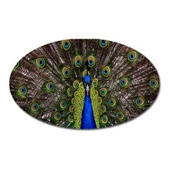 Bird Peacock Display Full Elegant Plumage Oval Magnet