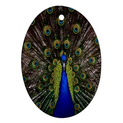 Bird Peacock Display Full Elegant Plumage Oval Ornament (two Sides)