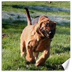 Bloodhound Running Canvas 12  x 12