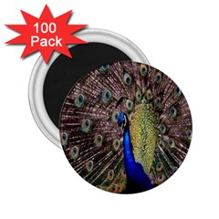 Multi Colored Peacock 2.25  Magnets (100 pack)