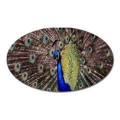 Multi Colored Peacock Oval Magnet