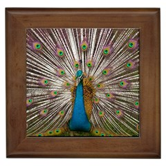 Indian Peacock Plumage Framed Tiles