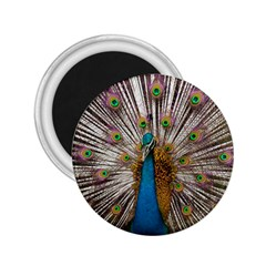 Indian Peacock Plumage 2 25  Magnets