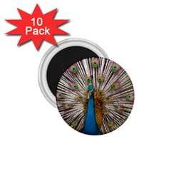 Indian Peacock Plumage 1 75  Magnets (10 Pack)