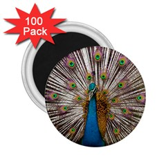 Indian Peacock Plumage 2 25  Magnets (100 Pack)