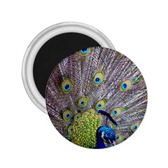 Peacock Bird Feathers 2.25  Magnets