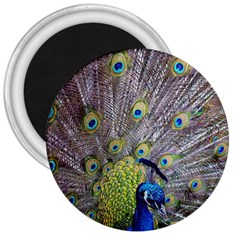 Peacock Bird Feathers 3  Magnets
