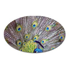 Peacock Bird Feathers Oval Magnet