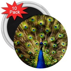 Peacock Bird 3  Magnets (10 Pack)