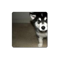 Alaskan Malamute Pup 3 Square Magnet