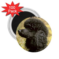 Poodle Love W Pic Black 2.25  Magnets (100 pack)