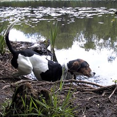 Treeing Walker Coonhound In Water Magic Photo Cubes
