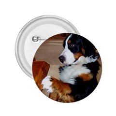Bernese Mountain Dog Begging 2.25  Buttons