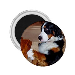 Bernese Mountain Dog Begging 2.25  Magnets