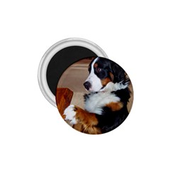 Bernese Mountain Dog Begging 1.75  Magnets