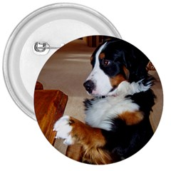 Bernese Mountain Dog Begging 3  Buttons