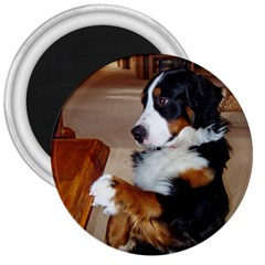 Bernese Mountain Dog Begging 3  Magnets
