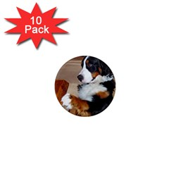 Bernese Mountain Dog Begging 1  Mini Magnet (10 pack)