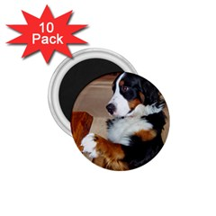 Bernese Mountain Dog Begging 1.75  Magnets (10 pack)