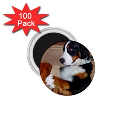Bernese Mountain Dog Begging 1.75  Magnets (100 pack)