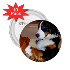 Bernese Mountain Dog Begging 2.25  Buttons (10 pack)