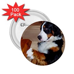 Bernese Mountain Dog Begging 2.25  Buttons (100 pack)