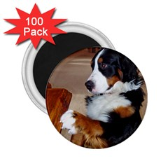 Bernese Mountain Dog Begging 2.25  Magnets (100 pack)