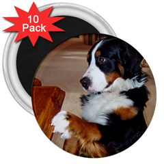 Bernese Mountain Dog Begging 3  Magnets (10 pack)