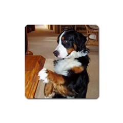Bernese Mountain Dog Begging Square Magnet