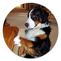 Bernese Mountain Dog Begging Magnet 5  (Round)