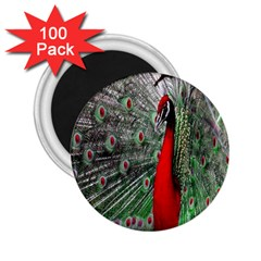 Red Peacock 2 25  Magnets (100 Pack)