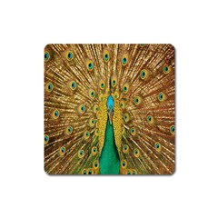 Peacock Bird Feathers Square Magnet