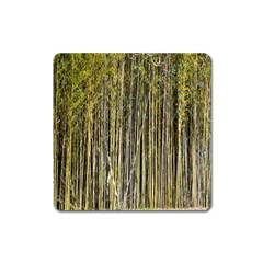 Bamboo Trees Background Square Magnet