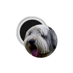 Bearded Collie 1.75  Magnets