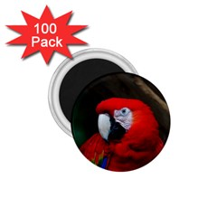 Scarlet Macaw Bird 1.75  Magnets (100 pack)
