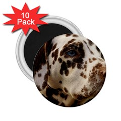 Dalmatian Liver 2.25  Magnets (10 pack)