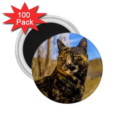 Adult Wild Cat Sitting and Watching 2.25  Magnets (100 pack)