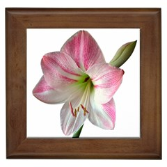 Flower Blossom Bloom Amaryllis Framed Tiles