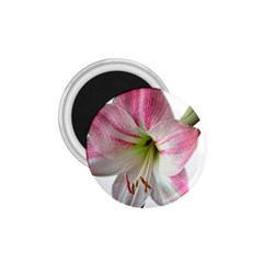 Flower Blossom Bloom Amaryllis 1.75  Magnets