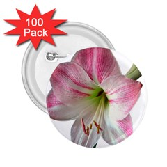 Flower Blossom Bloom Amaryllis 2 25  Buttons (100 Pack)