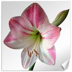 Flower Blossom Bloom Amaryllis Canvas 12  X 12