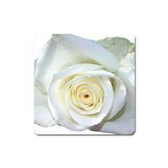 Flower White Rose Lying Square Magnet
